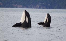 Orca, killer whale, Eenmalig gebruik