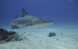 Caribbean reef shark in the Man of War Shoal Marine Park , Sint Maarten.