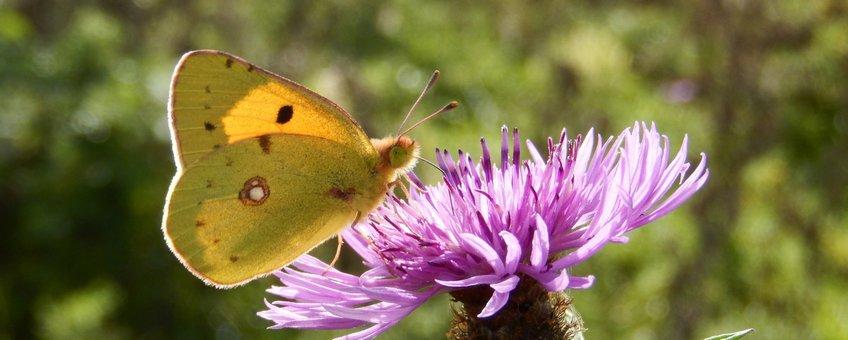 oranje luzernevlinder - primair