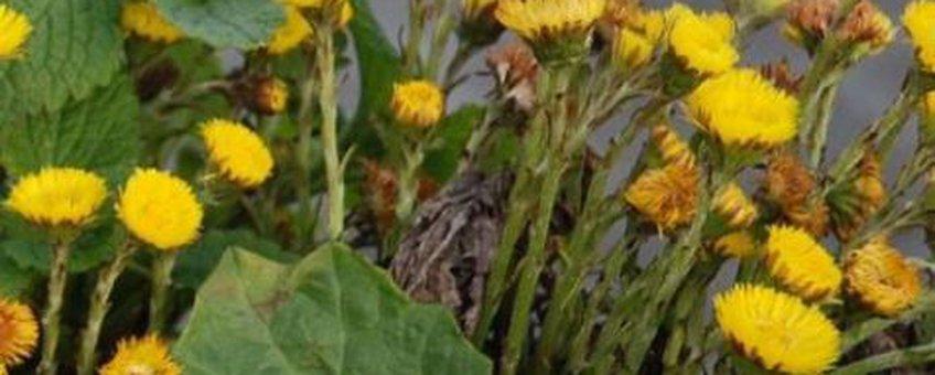 Klein hoefblad bloei, uitsnede