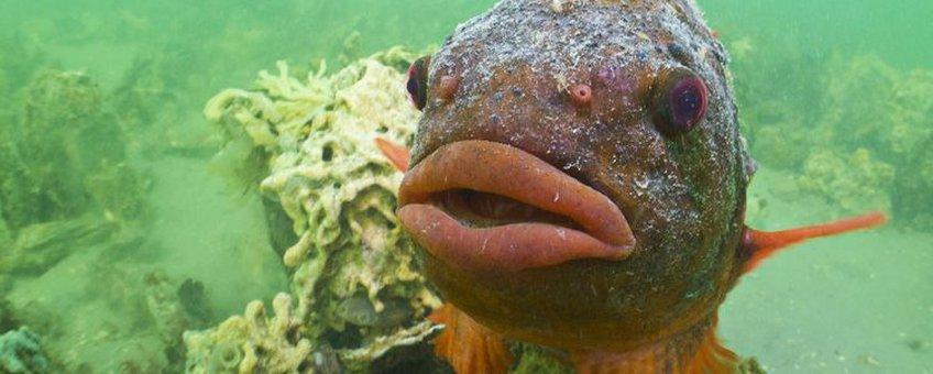 De zwoele lippen van een mannetje Snotolf in paaikleed