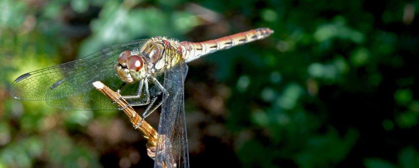 bruinrode heidelibel - primair