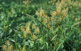 Knolcyperus Saxifraga