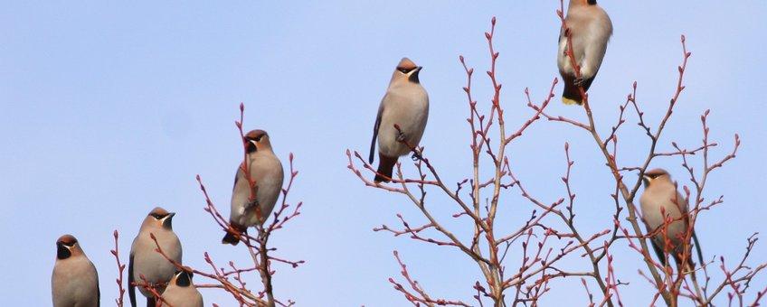 Pestvogels