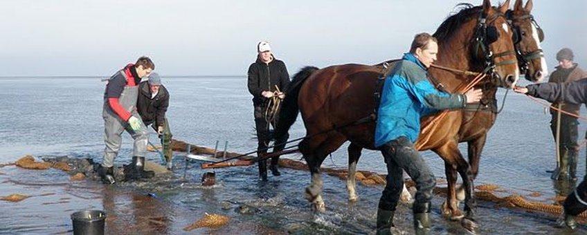 Gebruik van paardenkrachten en vele vrijwilligerskrachten op het wad om de kokosmatten in te graven