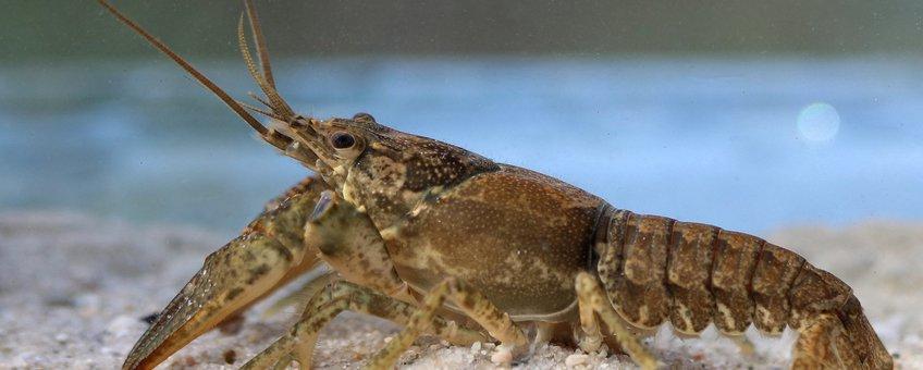 Calicotrivierkreeft (Faxonius immunis)