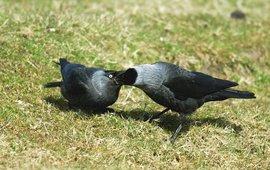 Corvus monedula. Kauw