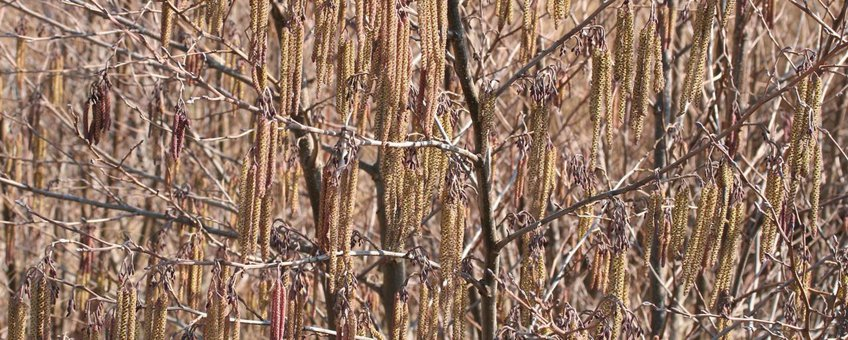 Zwarte els volle bloei Alnus glutinosa Paul Busselen Katholieke Universiteit Leuven