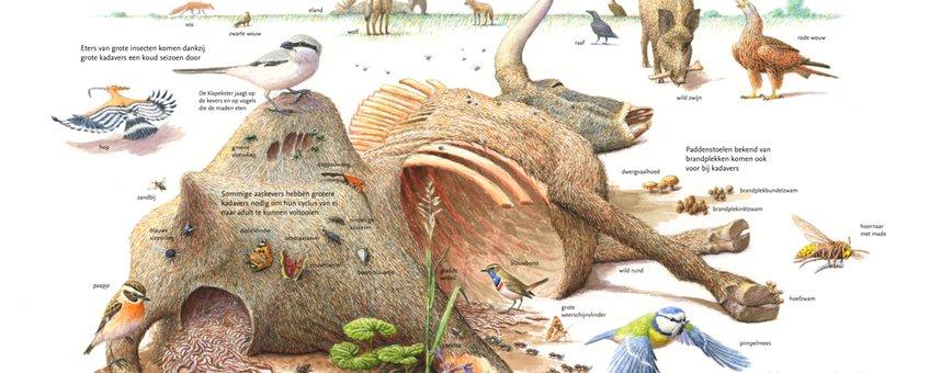 De sleutelrol van grote kadavers in de natuur EENMALIG GEBRUIK