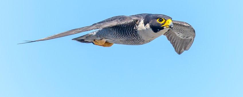 Slechtvalk, Falco peregrines,