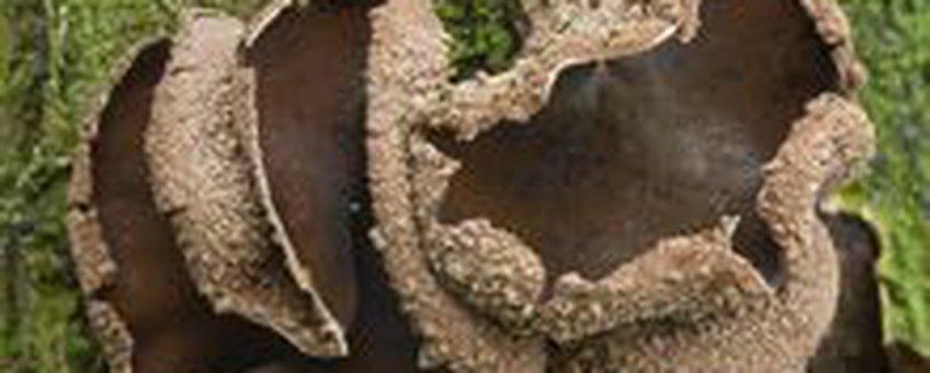 Hazelaarschijfzwam