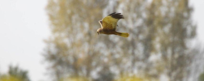 Bruine kiekendief man vliegend boven akker, Rhoon, ZH, 15april2020
