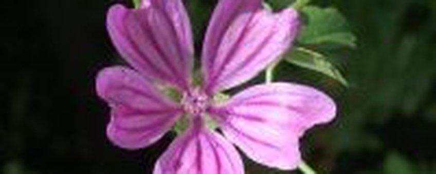 Groot Kaasjeskruid - Bloei (foto: Natuurkalender Handleiding)