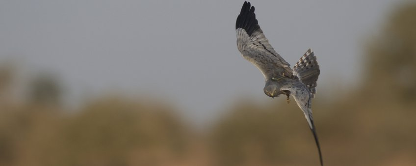 'Edwin' een in Groningen gezenderde grauwe kiekendief op jacht naar sprinkhanen in Senegal.