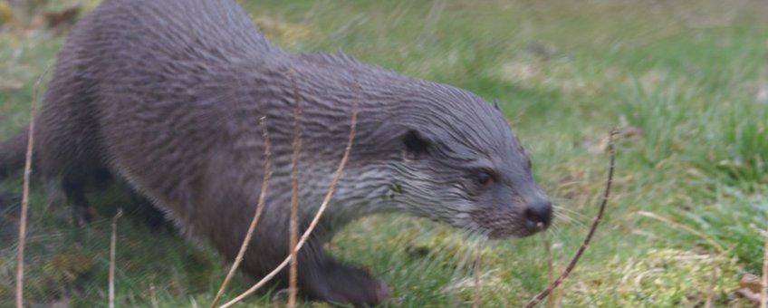 Otter VOOR EENMALIG GEBRUIK