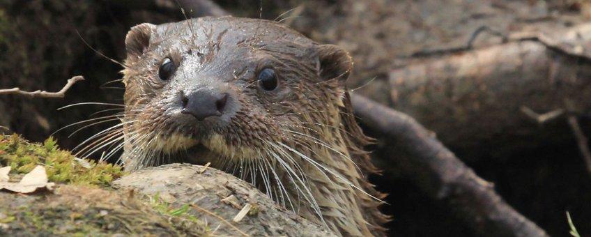 Otter close-up van kop VOOR EENMALIG GEBRUIK