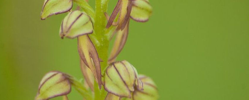 Poppenorchis (Orchis anthropophora).