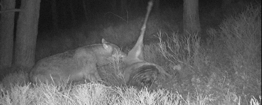 Wolf eet van prooi. Aaseters profiteren van de wolf als aasleverancier. EENMALIG GEBRUIK
