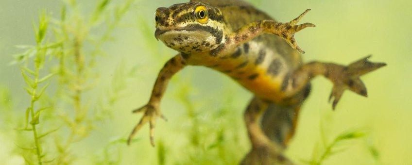 Hybride Kleine watersalamander x Vinpootsalamander
