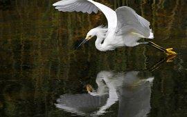 Zilverreiger, egret