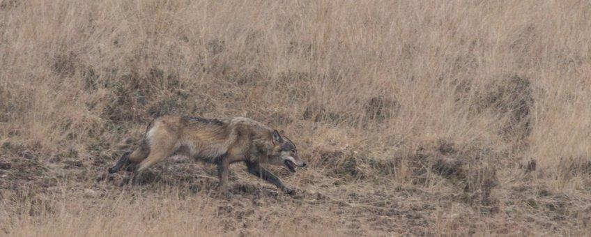 Wolf  3 spiegel