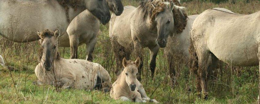Sociale groep konikpaarden
