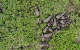 Drone shot of a group of wild Sumatran elephants