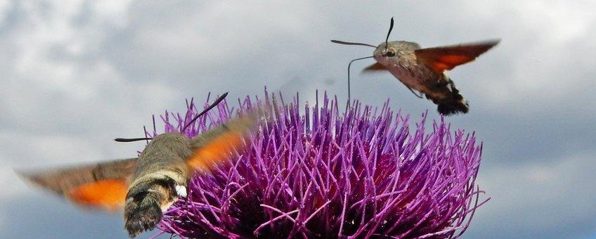 kolibrievlinders