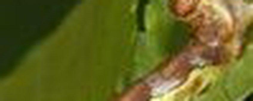 rups grote wintervlinder klein