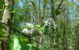 Vijlenerbos, hotspot van wintereiken-beukenbos met de zeldzame wilde appel