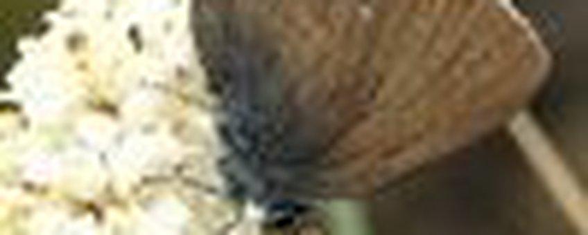 bruine eikenpage liguster klein
