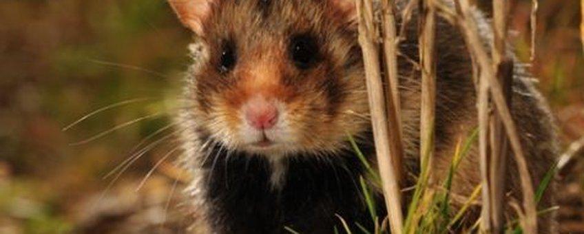 hamster eenmalig klein