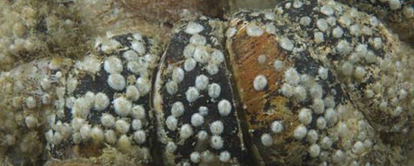 Zeepokkenbroedval