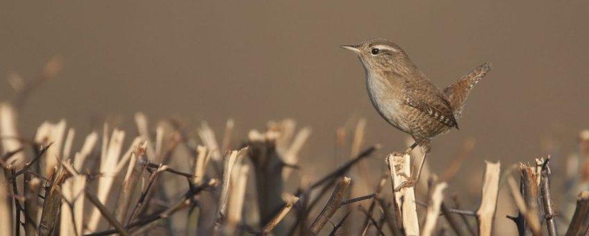 Winterkoning Deze foto is voor eenmalig gebruik bij het persbericht van SOVON dat op 23 maart 2012 op natuurbericht is verschenen