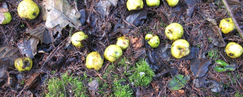 Malus sylvestris, wilde appel