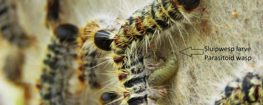 Sluipwesp larve