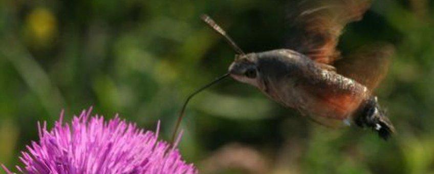 kolibrievlinder op distel