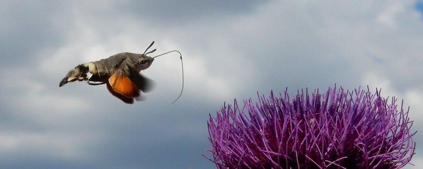 kolibrievlinder 2 - primair