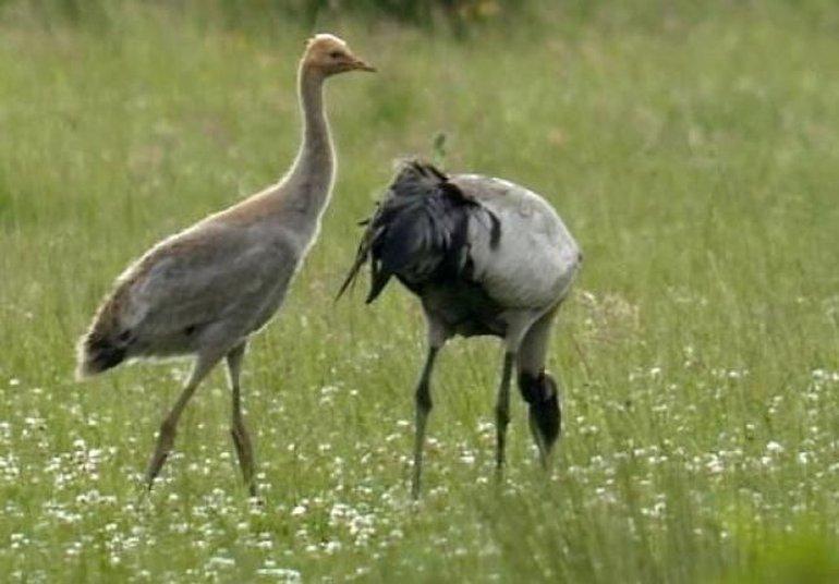 Kraanvogel met jong
