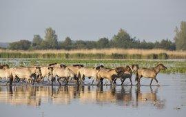 Konikpaarden waden door het water EENMALIG GEBRUIK