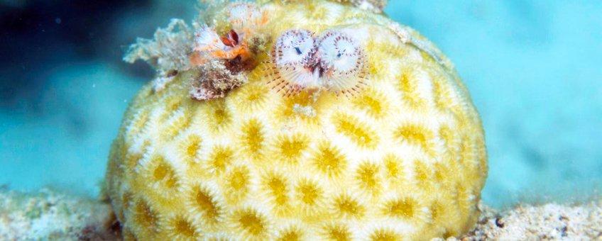 Twee kleine kerstboomwormen (Spirobranchus polycerus) op golfbalkoraal (Favia fragum)