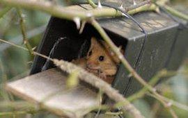 Hazelmuis in nestbuis (Foto Dick Klees)