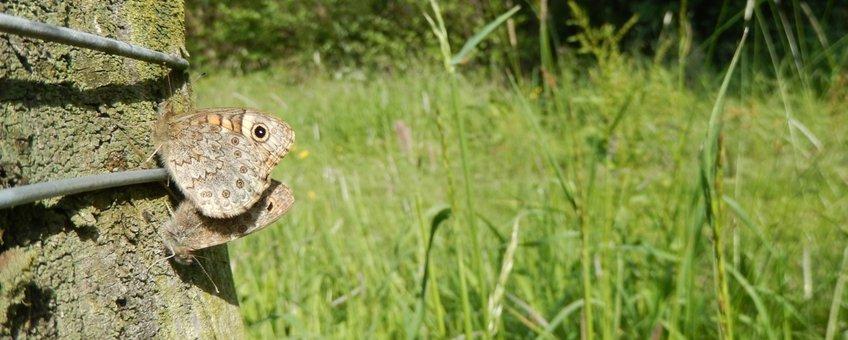 argusvlinder parend - primair
