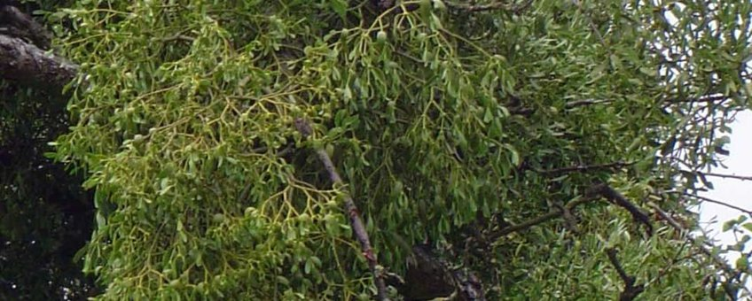Maretak in oude appelboom (foto: Toubib, GNU-FD licentie)
