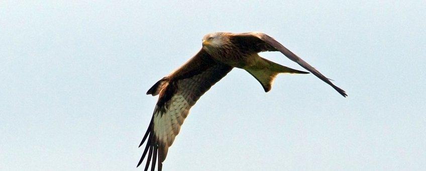 Rode wouw één van de broedvogels in de Achterhoek, voorjaar 2015. Deze vogel was herkenbaar aan de omhoogslaande vleugeldekveren. En werd foeragerend gezien tot op ruim 17 km van de nestplek! Foto: Michiel Schaap.