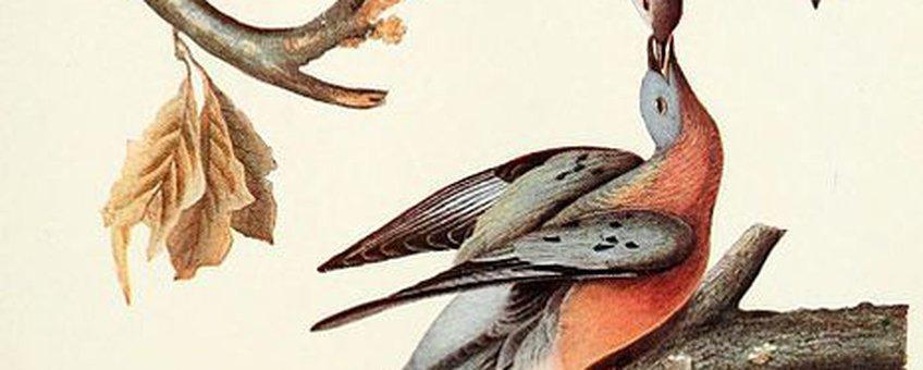 Trekduif door John James Audubon