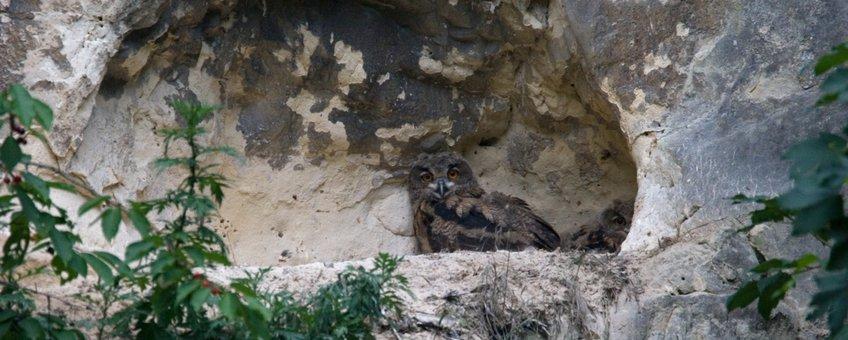 Oehoe op nestlocatie in Limburg