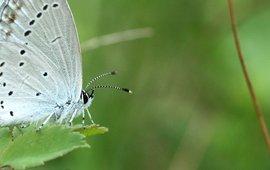 staartblauwtje - primair