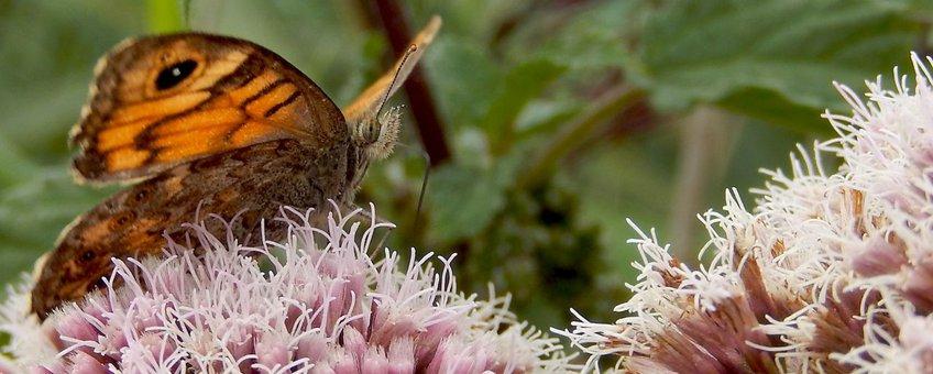 argusvlinder primair