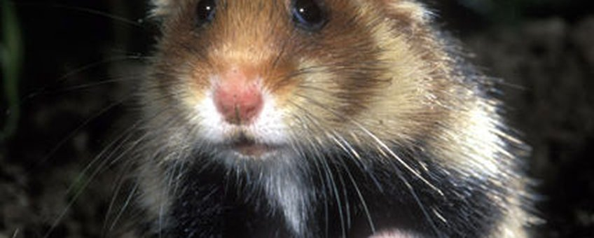 Hamster (Foto Rollin Verlinde)